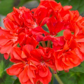 Blomma av Pelargon Alexander J Hagemo