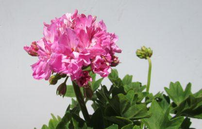 Pelargon Borthwood-planta med blomstängel och knoppar