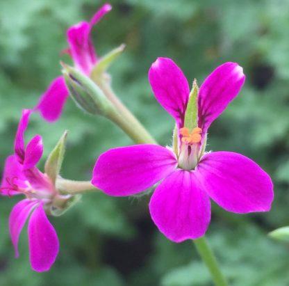 Blommor av Pelargon Deerwood Lavender Lad