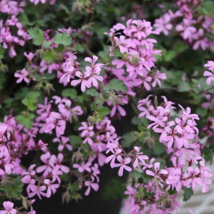 Pelargonium ionidiflorum Pinki Pinks-blommor