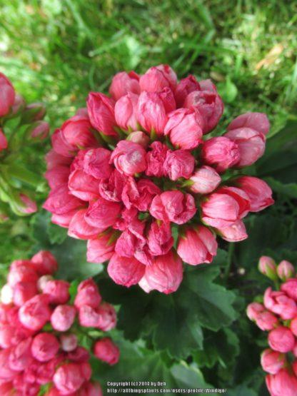 Pelargon Pink Pandora