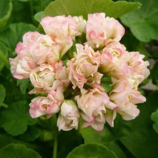 Pelargon Appleblossom