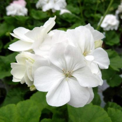 Pelargon Mårbacka, vit