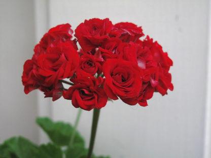 Pelargon Red Rosebud