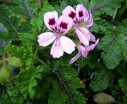 Pelargon vitifolium