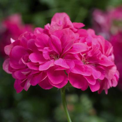 Pelargon Corriente Hot Pink