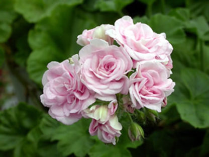Pelargon Millfield Rose