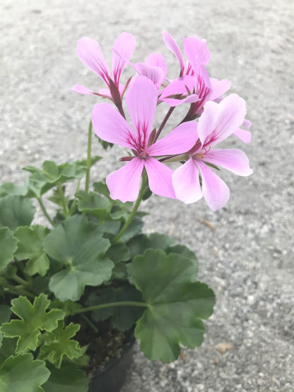 Pelargon Caliente, rosa