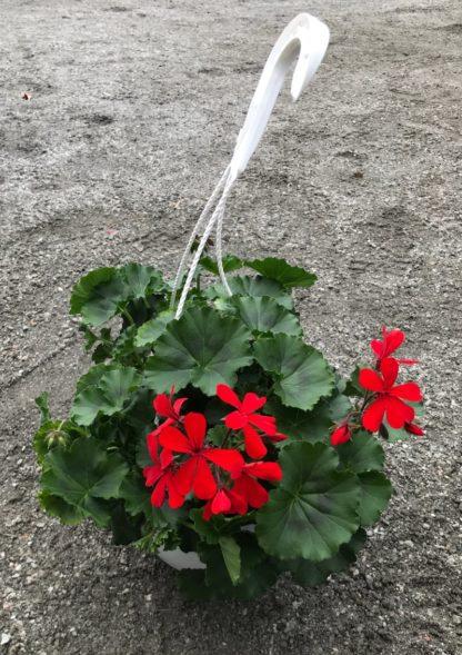 Pelargon Caliente, djupt röd, planta i ampel