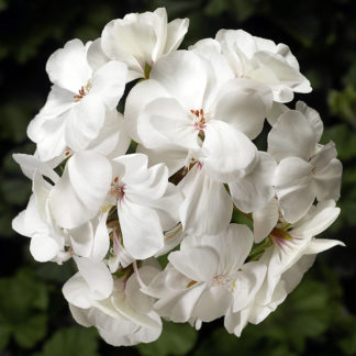 Pelargon Calliope Landscape Platinum White