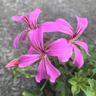 Pelargon Super Cascade Rose
